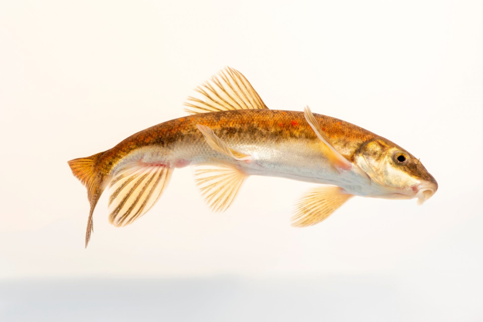 Photo: A Salish sucker, Catostomus Cf. catostomus, at the A Rocha Brooksdale Environmental Center in Surrey, BC. This species is federally protected.