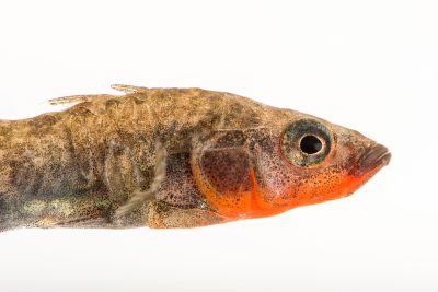 Photo: A three-spined stickleback, Gasterosteus aculeatus, at A Rocha Brooksdale Environmental Center in Surrey, BC.