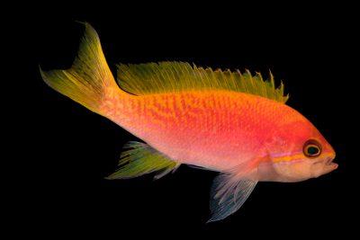 Photo: Two-spot basslet (Pseudanthias bimaculatus) photographed at Downtown Aquarium in Denver, Colorado.