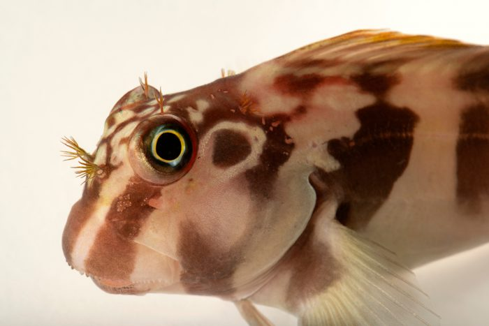 Photo: Horseface blenny (Ophioblennius steindachneri) photographed at Downtown Aquarium in Denver, Colorado.