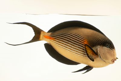 Photo: Sohal tang (Acanthurus sohal) photographed at Downtown Aquarium in Denver, Colorado.