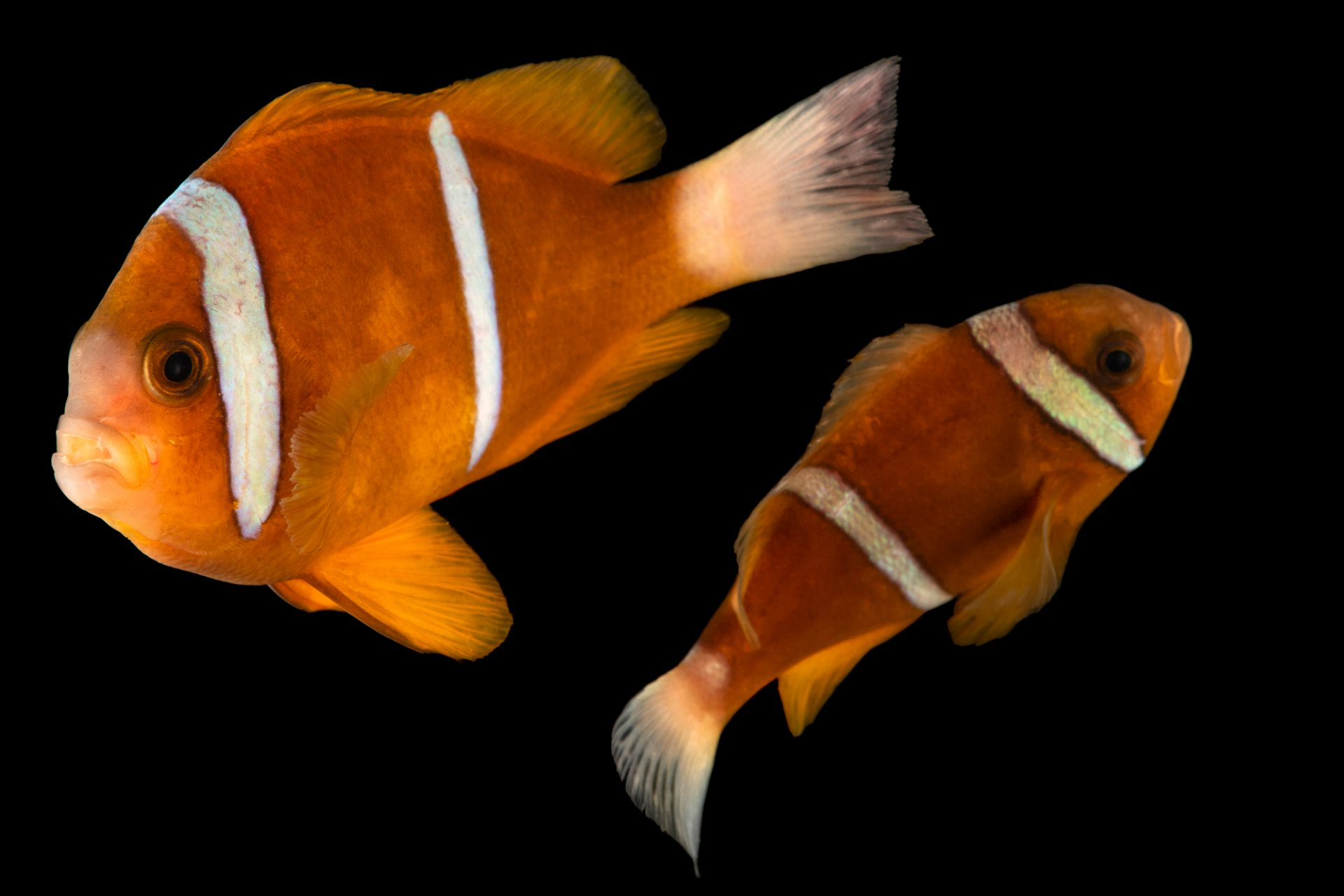 Photo: Barrier Reef anemonefish (Amphiprion akindynos) photographed at Downtown Aquarium in Denver, Colorado.