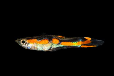 Photo: Endler fish (Poecilia wingei) from a private collection in Santa Cruz, Tenerife, Spain.