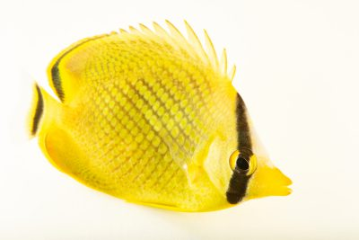 Photo: Latticed butterflyfish (Chaetodon rafflesii) at Loro Parque's aquarium in Puerto de la Cruz, Tenerife, Spain