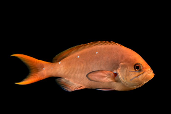 Photo: Creole fish (Paranthias furcifer) at Loro Parque's aquarium in Puerto de la Cruz, Tenerife, Spain
