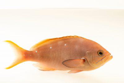 Photo: Creole fish (Paranthias furcifer) at Loro Parque's aquarium in Puerto de la Cruz, Tenerife, Spain
