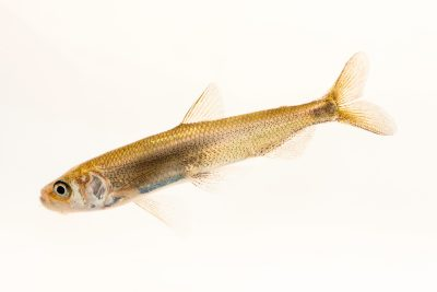 Photo: Adult Longfin smelt (Spirinchus thaleichthys) at the Fish Conservation and Culture Lab in Byron, CA at UC Davis.