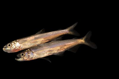 Photo: Juvenile Longfin smelt (Spirinchus thaleichthys) at the Fish Conservation and Culture Lab in Byron, CA at UC Davis.