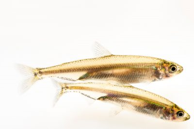 Photo: Critically Endangered Juvenile delta smelt (Hypomesus transpacificus) at the Fish Conservation and Culture Lab in Byron, CA at UC Davis.