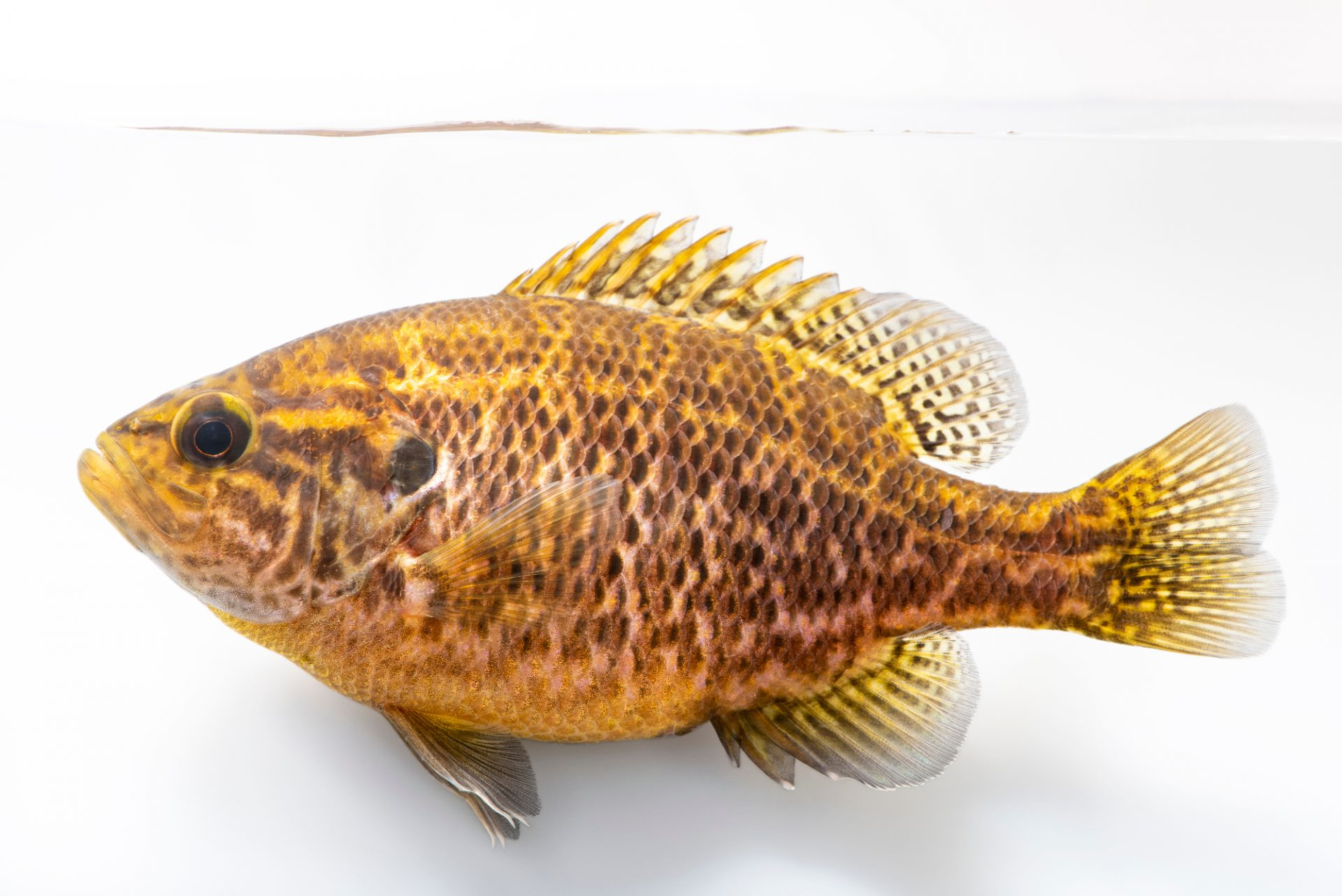 Photo: Warmouth ( Lepomis gulosus) at the Fish Conservation and Culture Lab in Byron, CA at UC Davis.