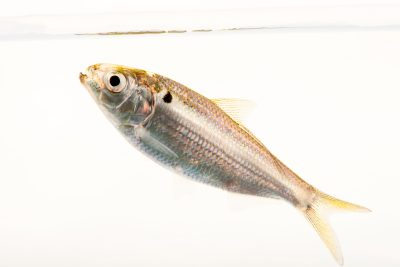 Photo: Threadfin shad (Dorosoma petenense) at the Fish Conservation and Culture Lab in Byron, CA at UC Davis.