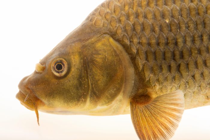 Photo: Common carp (Cyprinus carpio) at the Fish Conservation and Culture Lab in Byron, CA at UC Davis.