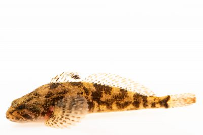 Photo: Prickly sculpin (Cottus asper) at the Fish Conservation and Culture Lab in Byron, CA at UC Davis.