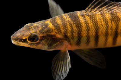Photo: Bigscale logperch (Percina macrolepida) at the Fish Conservation and Culture Lab near Byron, CA at UC Davis.