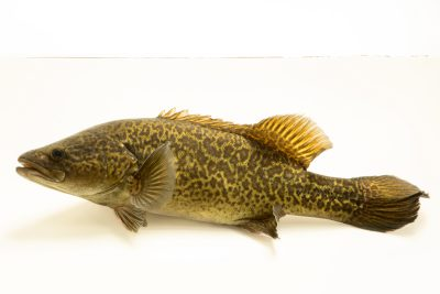 Photo: Critically endangered Murray cod (Maccullochella peelii) at the Freshwater Ecology and Marine Biology Dept. at Templestowe College.