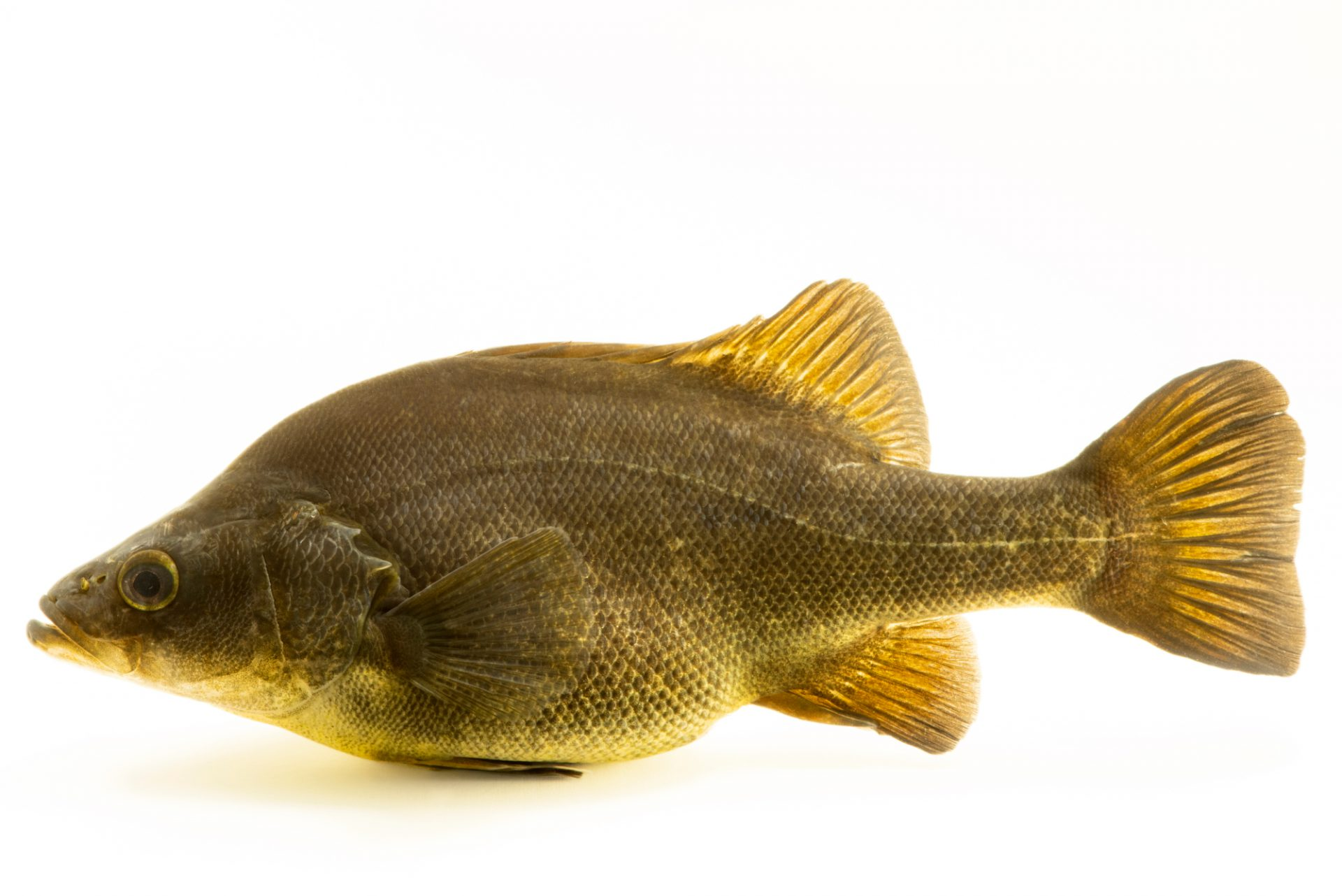 Photo: Golden perch (Macquaria ambigua) at the Freshwater Ecology and Marine Biology Dept. at Templestowe College.