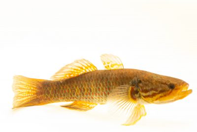 Photo: Snakehead gudgeon (Giuris margaritacea) at the Freshwater Ecology and Marine Biology Dept. at Templestowe College.