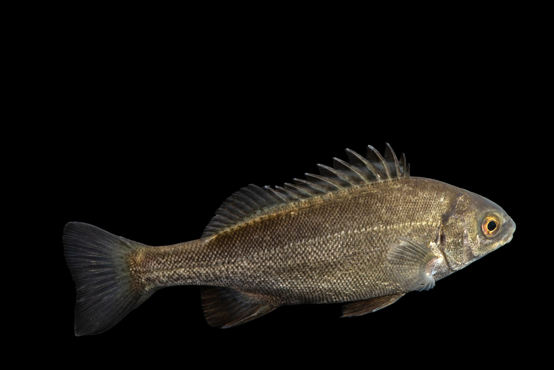 Photo: Silver perch (Bidyanus bidyanus) at the Freshwater Ecology and Marine Biology Dept. at Templestowe College.
