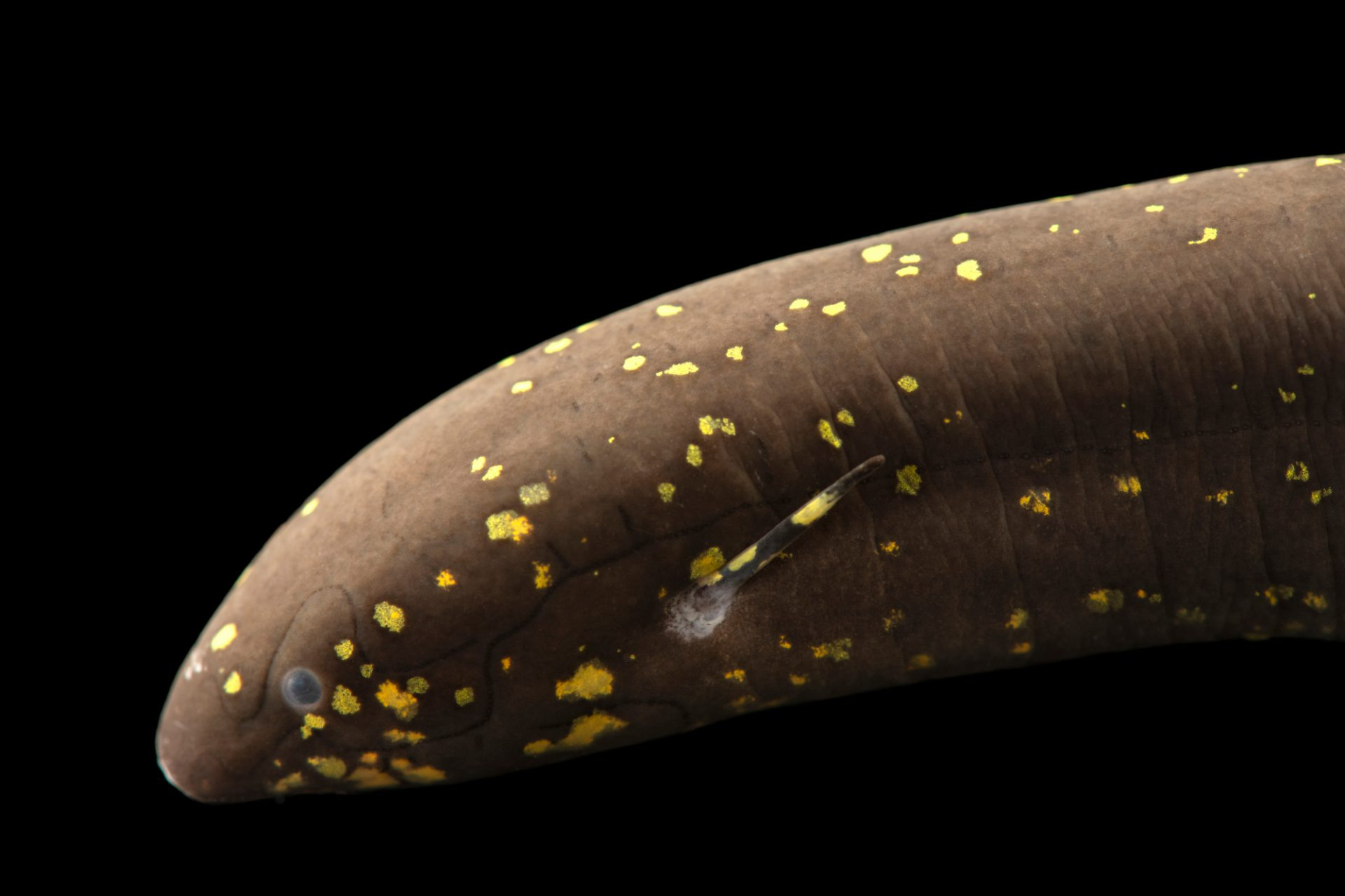 Photo: South American lungfish (Lepidosiren paradoxa) at Moscow Zoo.