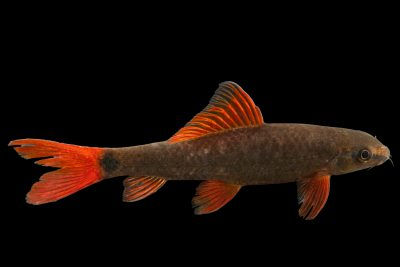 Photo: Rainbow shark (Labeo frenatus) at the Moscow Zoo.