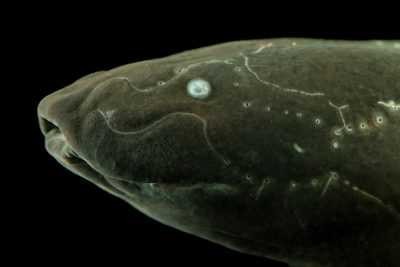 Photo: Spotted lungfish (Protopterus dolloi) at the Moscow Zoo.