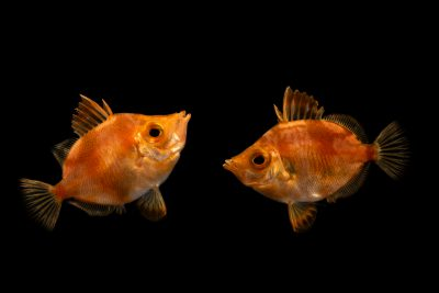 Photo: Two boarfish (Capros aper) at Loro Parque.