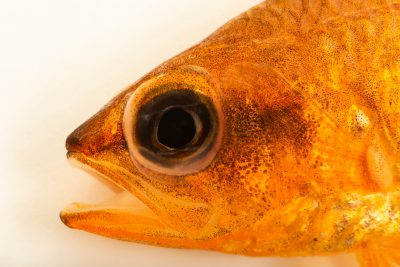 Photo: Mediterranean cardinalfish (Apogon imberbis) at Loro Parque.