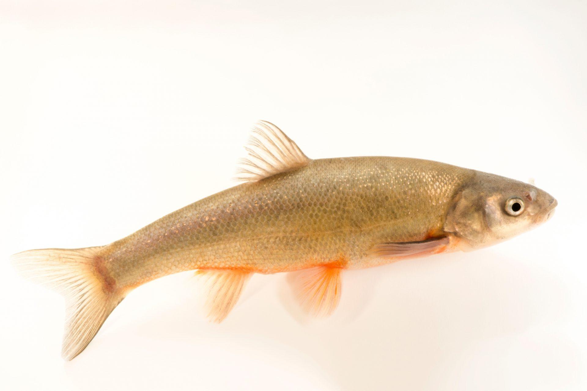 Photo: Rio Grande chub (Gila pandora) at the Albuquerque BioPark Aquarium.