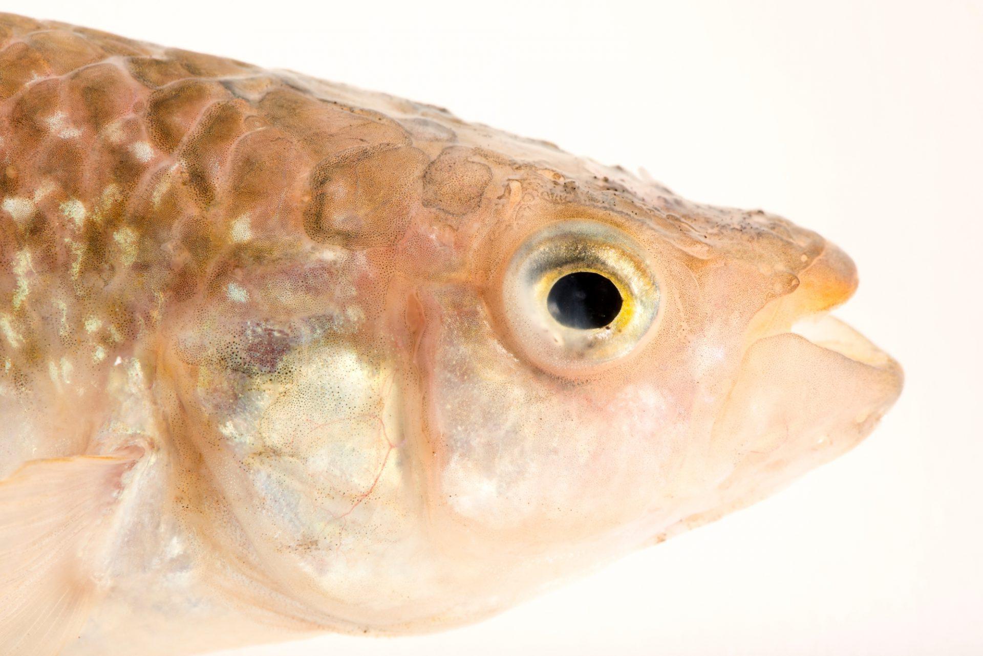 Photo: Gulf killifish (Fundulus grandis) at the Albuquerque BioPark Aquarium.