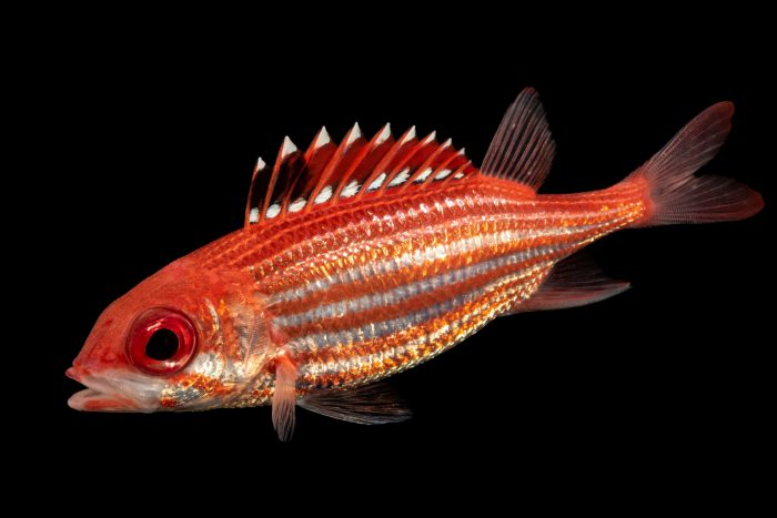 Photo: Reef squirrelfish (Holocentrus coruscus) at the Albuquerque BioPark Aquarium.