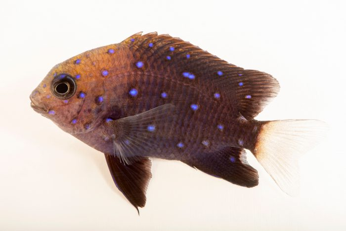 Photo: Jewel damselfish (Microspathodon chrysurus) at the Albuquerque BioPark Aquarium.