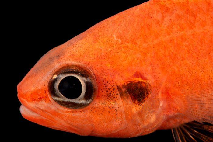 Photo: Flamefish (Apogon maculatus) at the Albuquerque BioPark Aquarium.