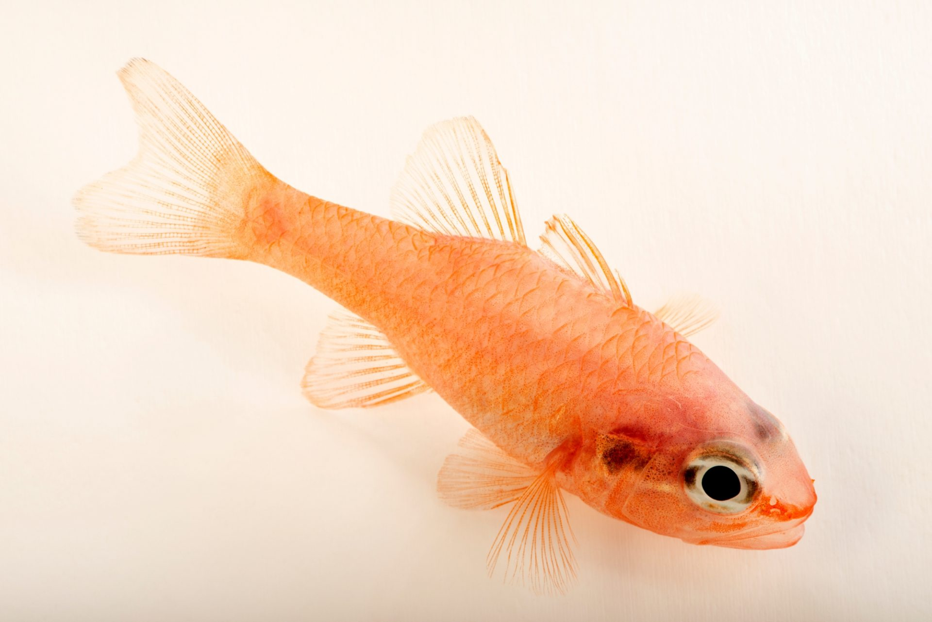 Photo: Flamefish (Apogon maculatus) at the Albuquerque BioPark Aquarium.