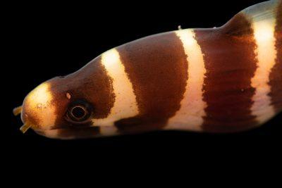 Photo: Banded moray eel (Echidna polyzona) at Gulf Specimen Marine Lab.