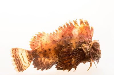 Photo: Orangebanded stingfish (Choridactylus multibarbus) at Gulf Specimen Marine Lab.
