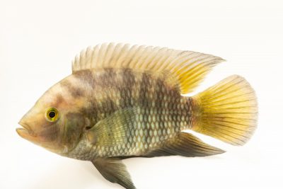 Photo: Chameleon cichlid (Australoheros facetus) at Fluvi‡rio in Mora, Portugal.