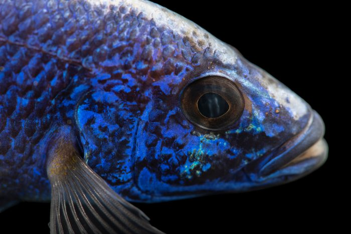 Photo: Electric blue hap (Sciaenochromis fryeri) at the Moscow Zoo.
