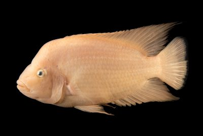 Photo: Midas cichlid (Amphilophus citrinellus) at the Oklahoma City Zoo.