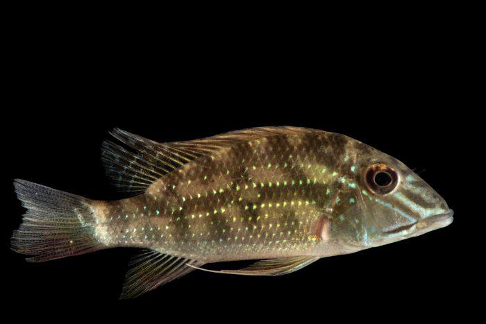 Photo: A three-spot demon fish (Satanoperca daemon) at the Dallas World Aquarium.