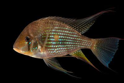 Photo: Threadfin acara (Acarichthys heckelii) at the Dallas World Aquarium.