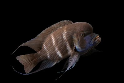Photo: A humphead cichlid (Cyphotilapia frontosa) at the Denver Zoo.