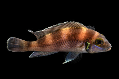 Photo: A five bar cichlid (Neolamprologus tretocephalus) at California Science Center in Los Angeles, California.
