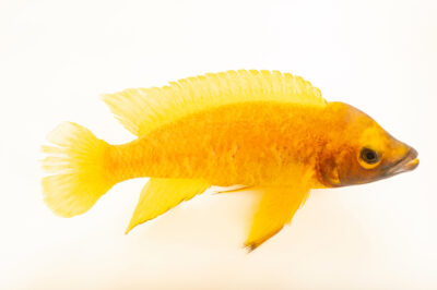 Photo: A lemon cichlid (Neolamprologus leleupi) at California Science Center in Los Angeles, California.