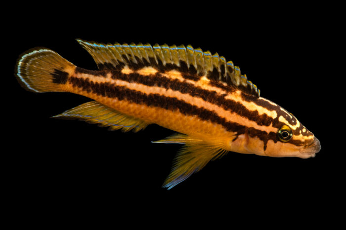 Photo: An ornate cichlid (Julidochromis ornatus) at California Science Center in Los Angeles, California.