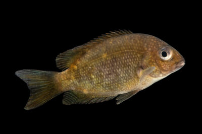 Photo: A Kotsovato cichlid (Paretroplus kieneri) at Plzen Zoo in the Czech Republic.