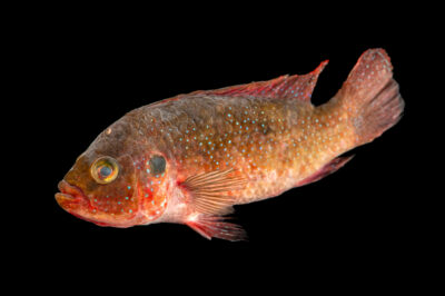 Photo: A jewell cichlid (Hemichromis sp) from a private collection.