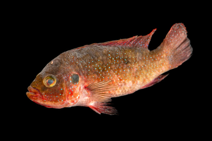 Photo: A jewel cichlid (Hemichromis sp.) from a private collection.