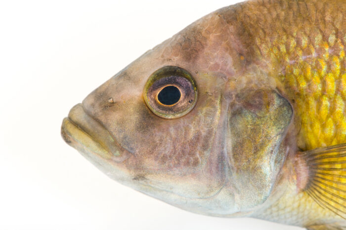 Photo: An undescribed thickskin cichlid (Haplochromis species # 44) from a private collection.