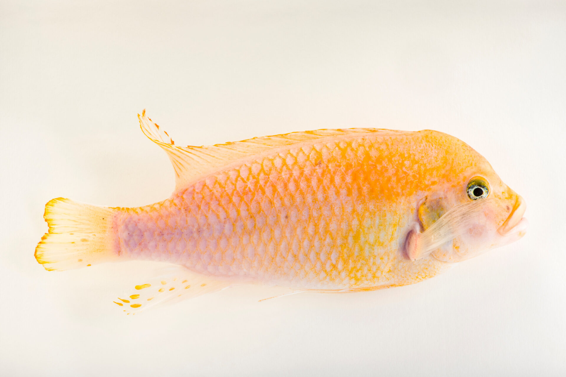 Photo: A red zebra cichlid (Maylandia estherae) from a private collection.
