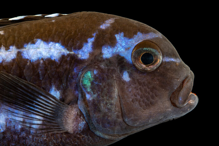 Photo: A critically endangered Maingano cichlid (Melanochromis cyaneorhabdos) from a private collection.